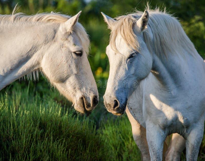Portret van twee Witte Camargue-paarden Parc Regional DE Camargue frankrijk De Provence royalty-vrije stock afbeeldingen