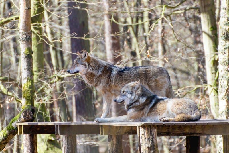 Portret van twee wolven in een spelpark royalty-vrije stock foto's