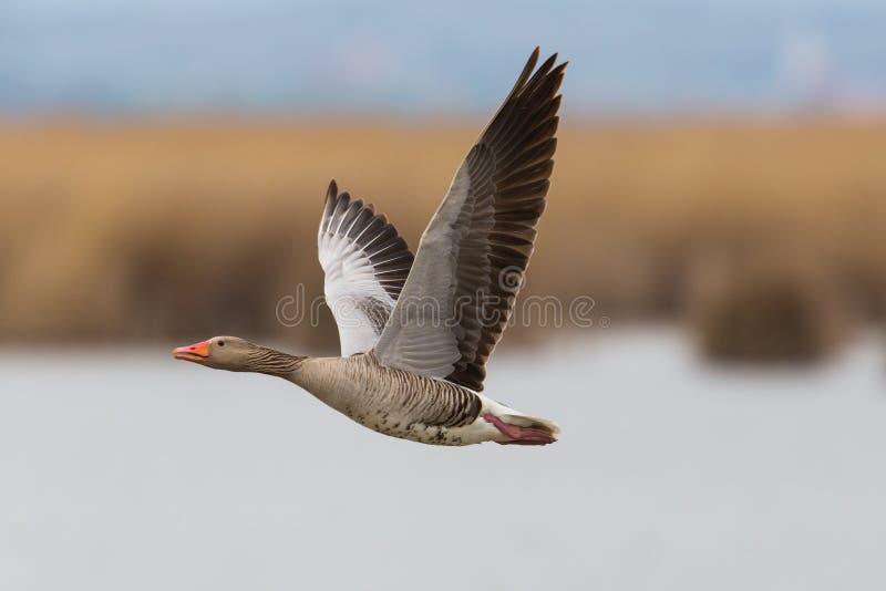 Portret van vliegende grijze gans anser anser met riet en water royalty-vrije stock fotografie