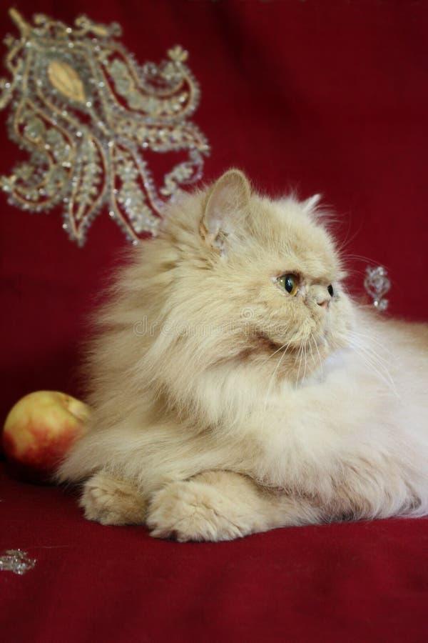 Portret van volwassen Perzische kat met een perzik royalty-vrije stock afbeelding