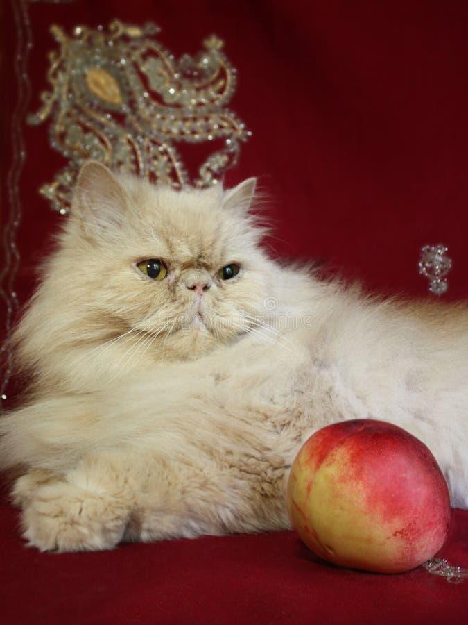 Portret van volwassen Perzische kat met een perzik stock afbeelding