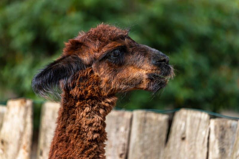 Portret van volwassen vrouwelijke alpaca op het landbouwbedrijf stock afbeelding