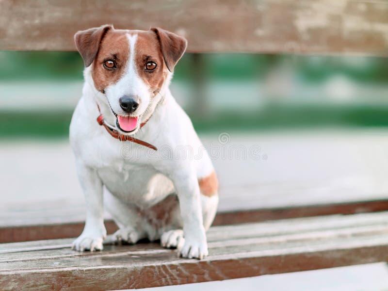 Portret van voorzijde van leuke kleine witte en bruine de terriërzitting van de hondhefboom russel op houten parkbank en en onder stock afbeeldingen