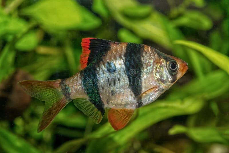 Portret van weerhaakvissen & x28; Puntius tetrazona& x29; in aquarium royalty-vrije stock foto