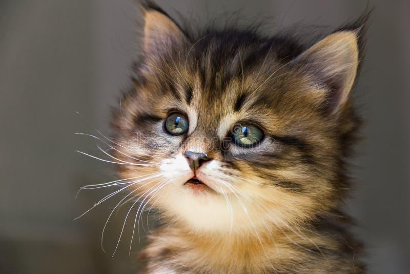 Portret van weinig gestreepte katkatje op een grijze achtergrond royalty-vrije stock foto's
