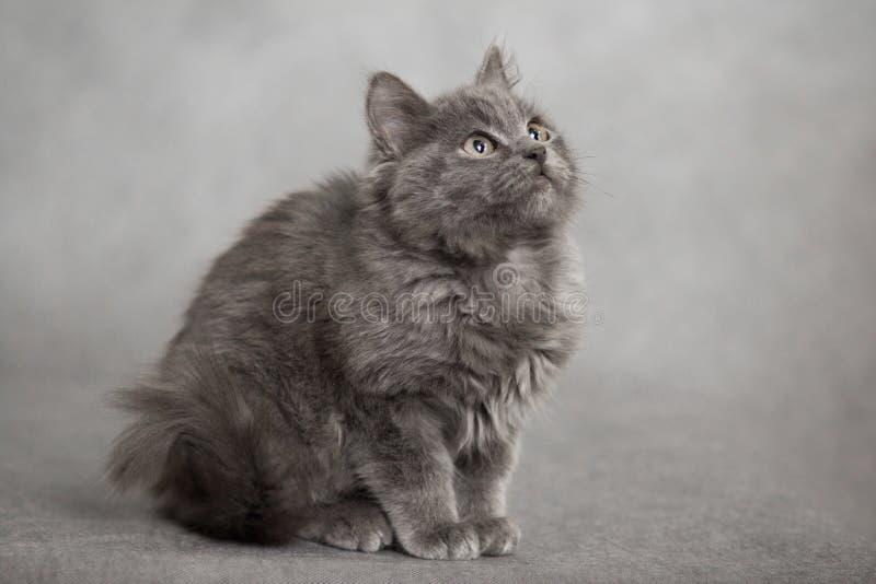 Portret van weinig pluizig as pluizig katje op een zwarte achtergrond royalty-vrije stock foto
