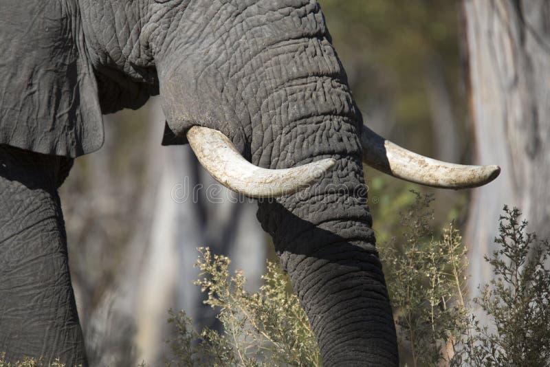 Portret van wilde vrije olifant stock afbeelding