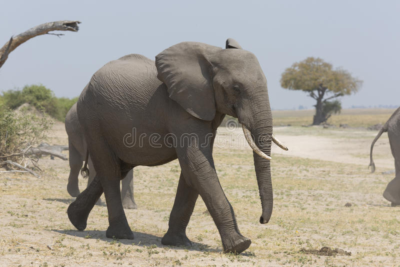Portret van wilde vrije olifant stock foto's