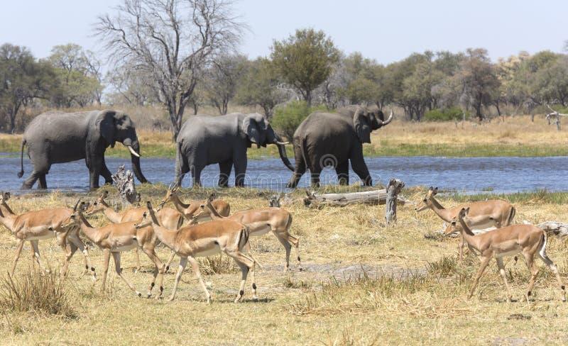 Portret van wilde vrije olifanten in rivier stock foto's