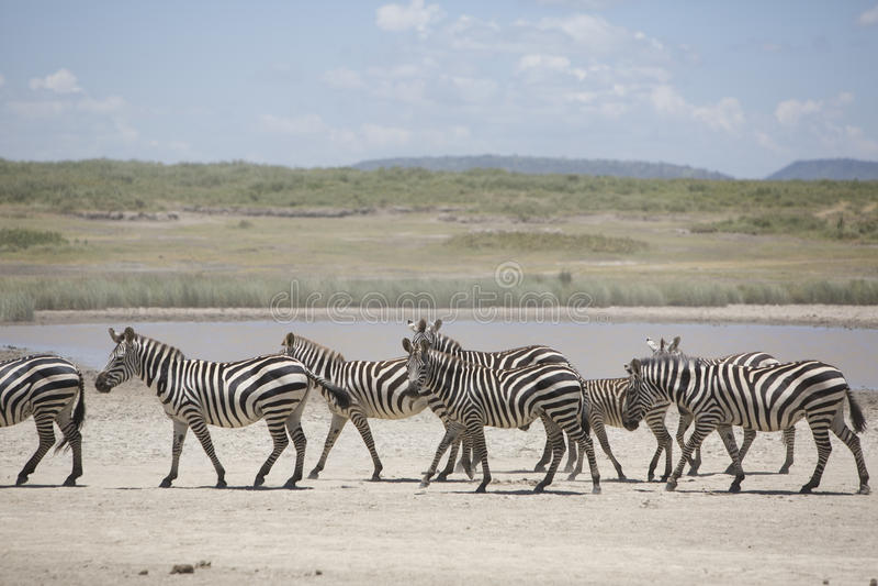 Portret van wilde vrije zwervende zebra royalty-vrije stock foto's