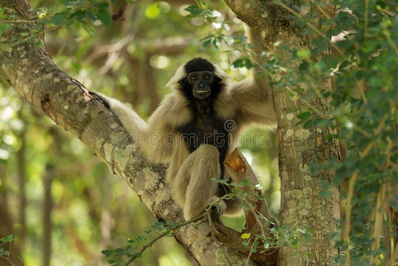 Portret van wit-overhandigde gibbon stock afbeeldingen