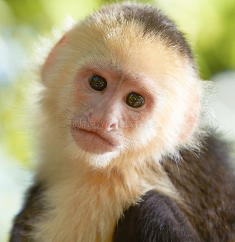 Portret van witte geleide capuchin aap royalty-vrije stock foto's