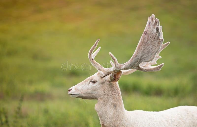 Portret van witte herten op een weide royalty-vrije stock fotografie