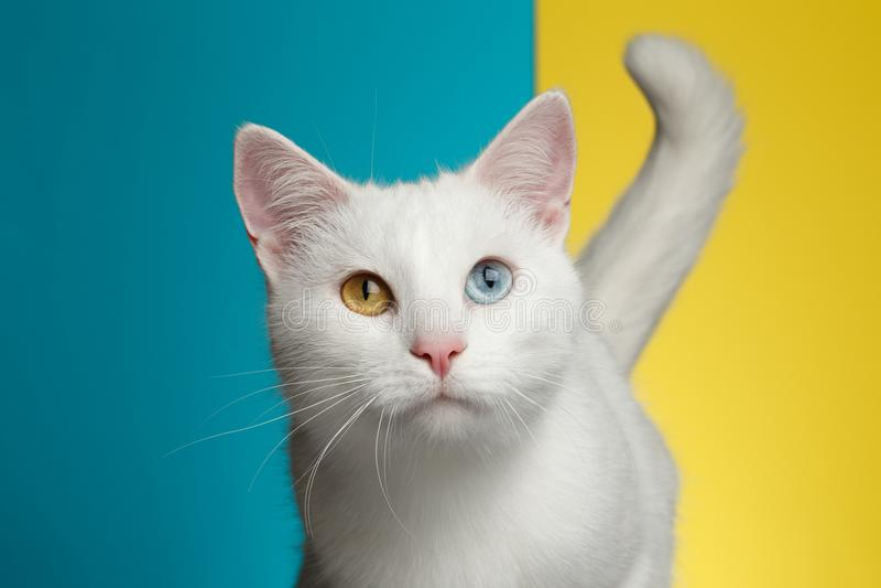 Portret van Witte Kat op Blauwe en Gele Achtergrond stock fotografie