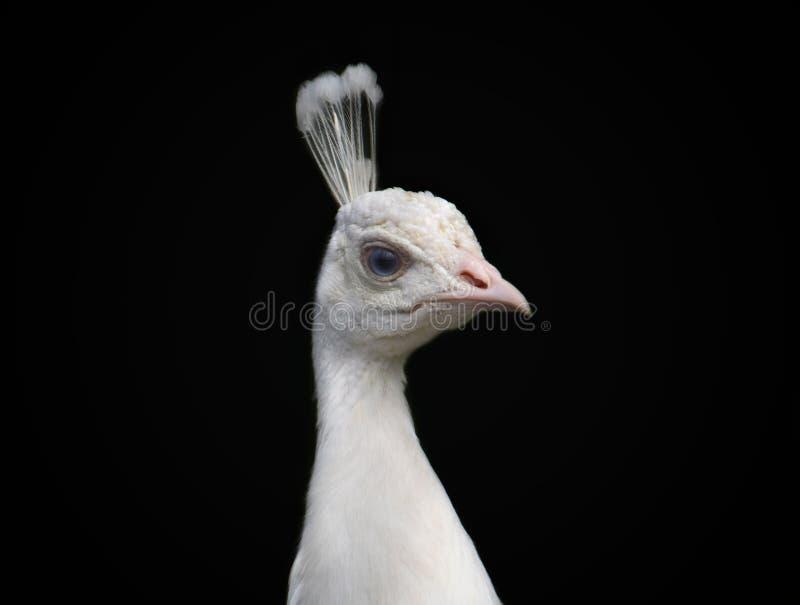 Portret van witte pauw royalty-vrije stock afbeelding