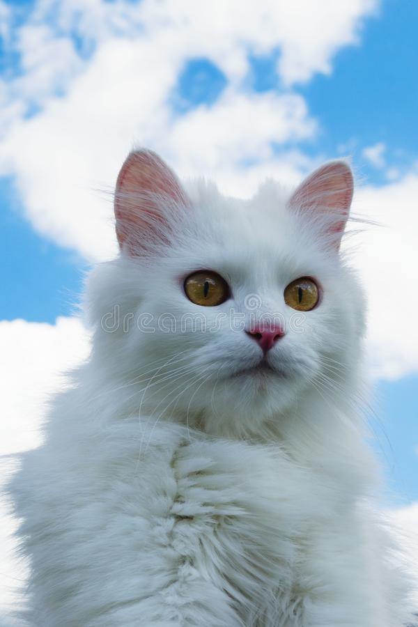 Portret van witte pluizige kat op een achtergrond van blauwe hemel royalty-vrije stock afbeelding