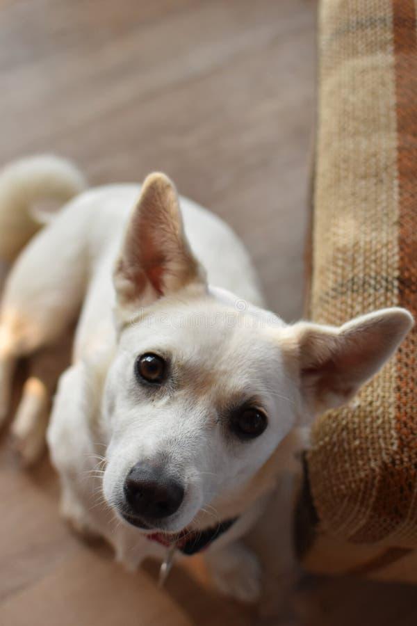 Portret van witte puppyhond royalty-vrije stock foto