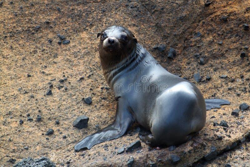 Portret van zeeleeuwjong (de Galapagos, Ecuador) stock fotografie