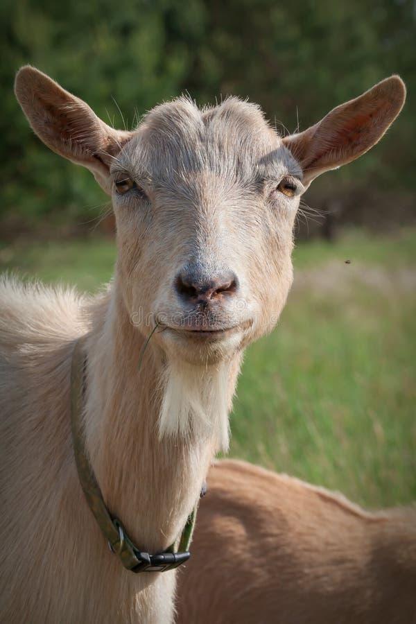Portret van zeer aardige geit royalty-vrije stock fotografie