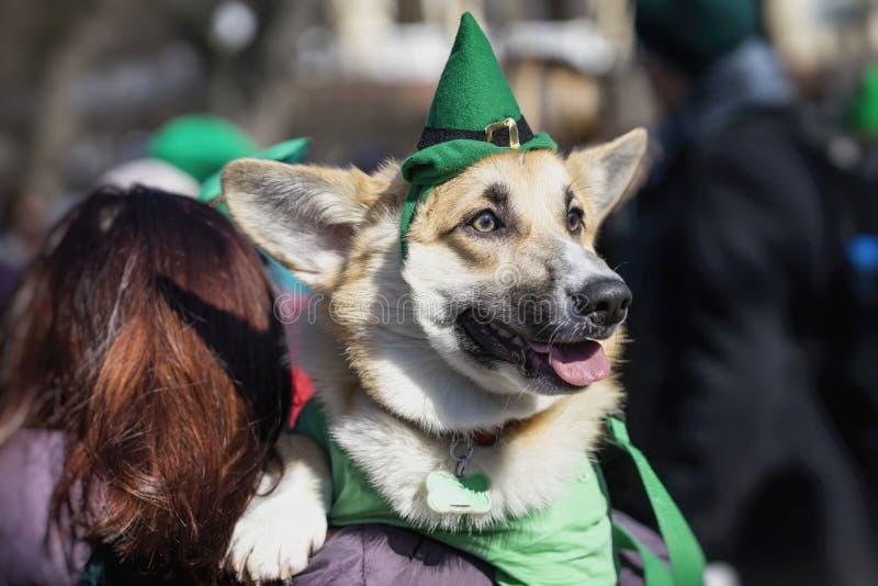 Portret van zoete, mooie hond in groene Ierse hoed, de dagvakantie van heilige Patrick StPatricks Dag stock foto