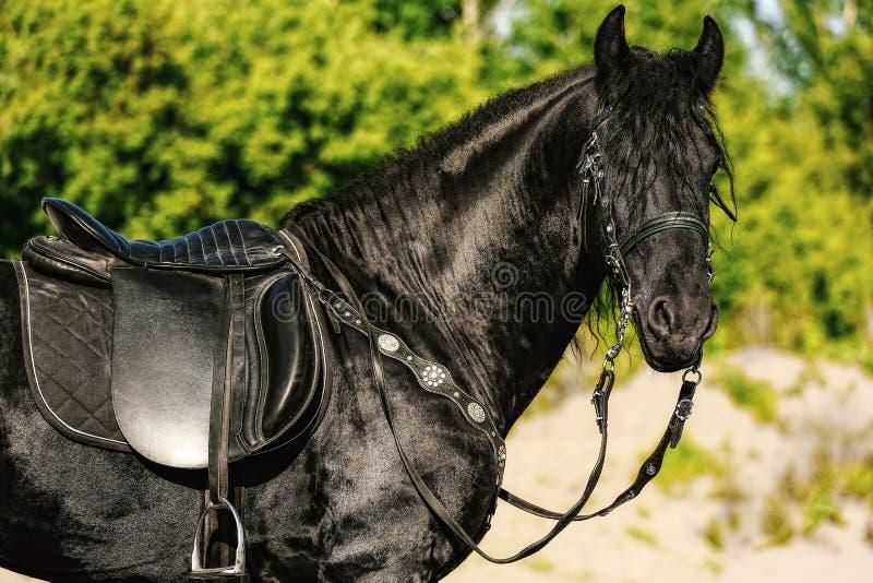 portret van zwart Friesian paard in de zomer royalty-vrije stock fotografie
