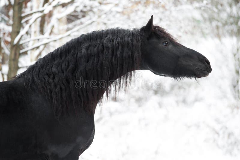 Portret van zwart Friesian paard op de winterachtergrond royalty-vrije stock afbeeldingen