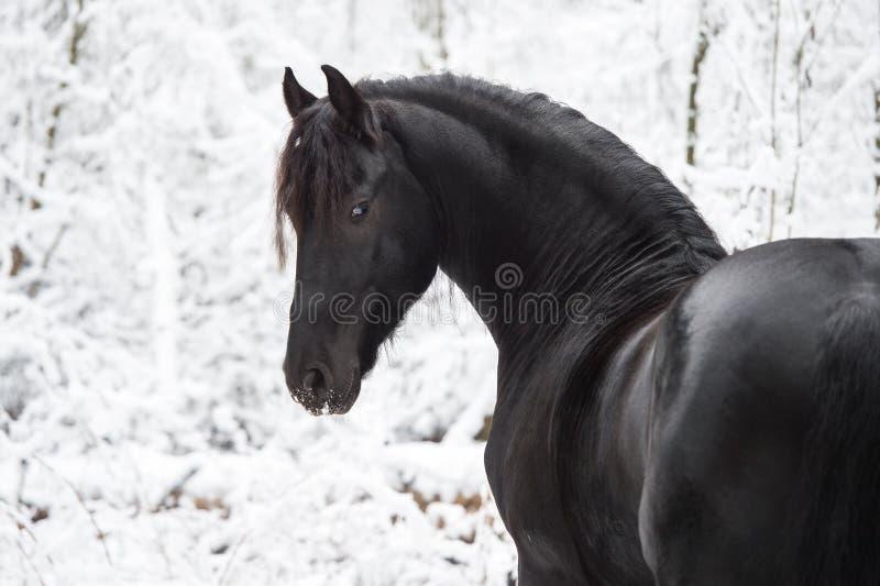 Portret van zwart Friesian paard op de winterachtergrond stock afbeeldingen