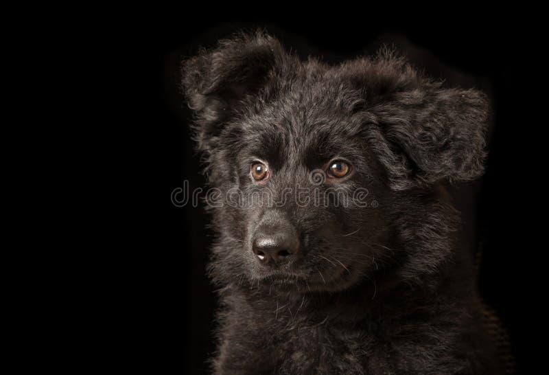 Portret van Zwart Puppy - Oude Duitse herder Dog stock afbeeldingen