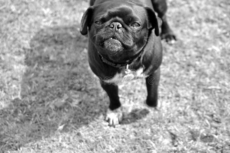 Portret van zwarte en grijze pug hond royalty-vrije stock foto's