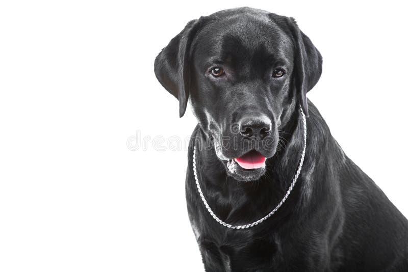 Portret van zwarte labrador retriever hond op geïsoleerdg wit royalty-vrije stock fotografie