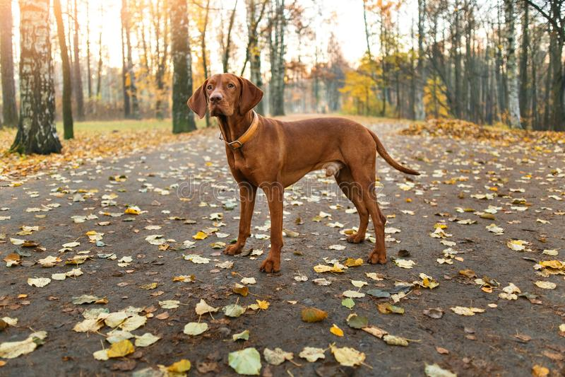 Portret węgra Vizsla pies stoi outdoors w jesień parku fotografia royalty free