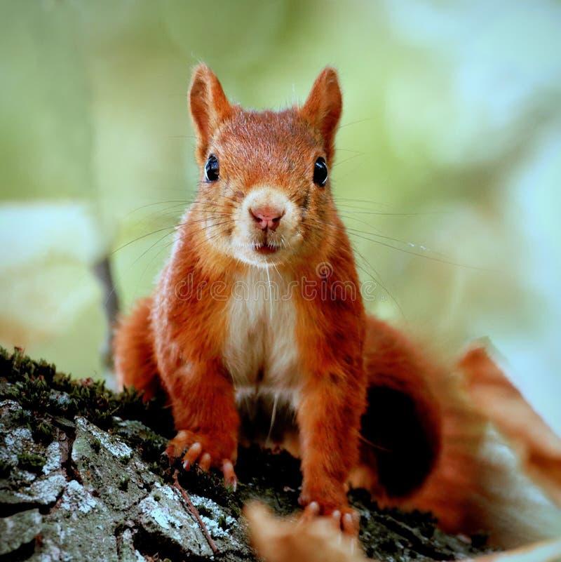 Portret wścibskiej wiewiórki obrazy stock