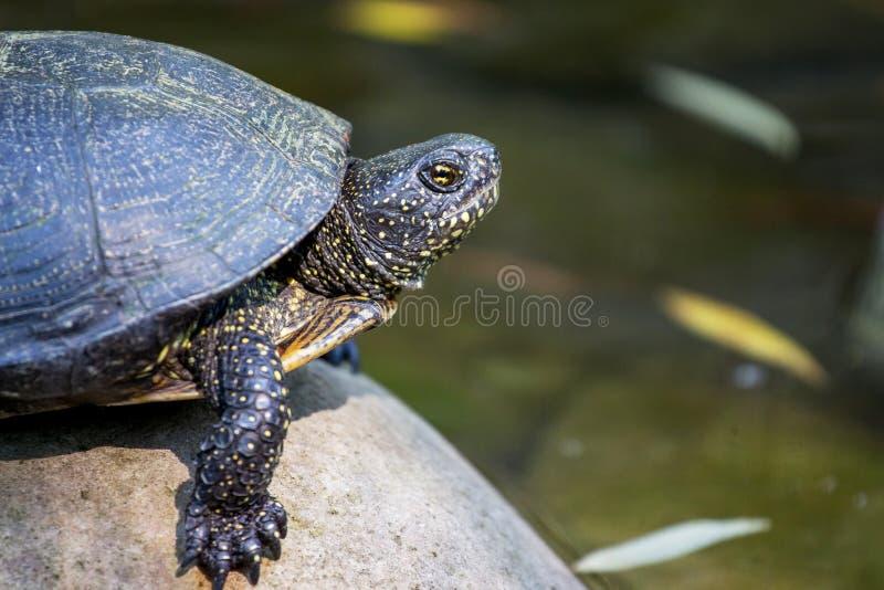 Portret a w górę żółwia obsiadania na otoczaku blisko water_ zdjęcia royalty free