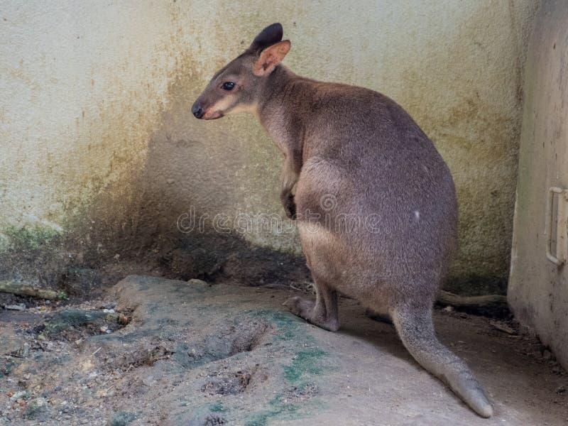 Portret wallaby zdjęcie stock