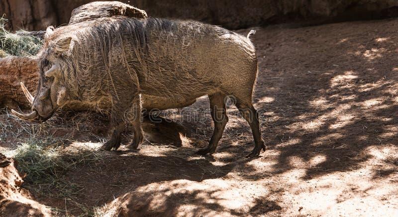 Wart hog. Portret of a wart hog walking around royalty free stock photo