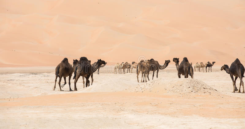 Portret wielbłądy w pustyni obrazy royalty free
