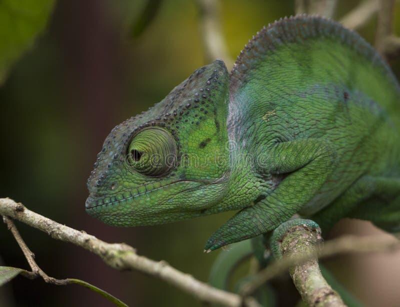 Portret wielki kameleon od Andasebe parka narodowego, Madagascar zdjęcia stock