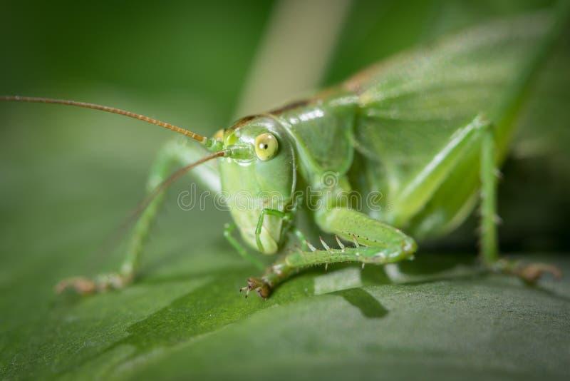 Portret wielki zielony krykieta obsiadanie na liściu obraz royalty free