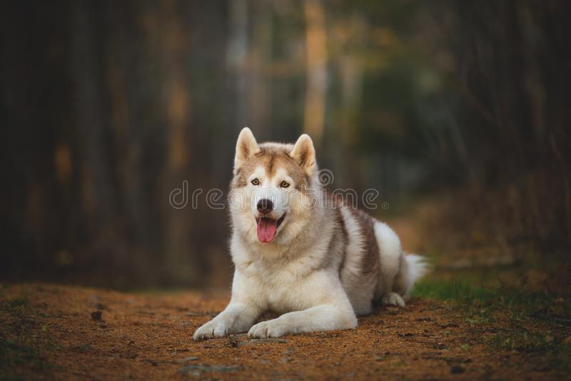 Portret wspaniały i bezpłatny Syberyjskiego husky psa lying on the beach w jaskrawym czarownym spadku lesie zdjęcia stock