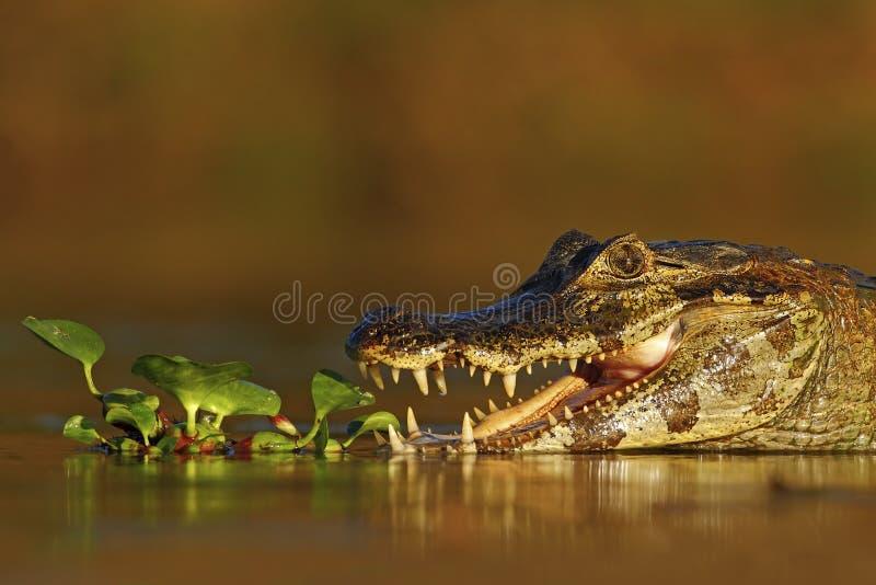 Portret Yacare Caiman w roślinach wodnych, krokodyl z otwartym kaganem, Pantanal, Brazylia obraz stock