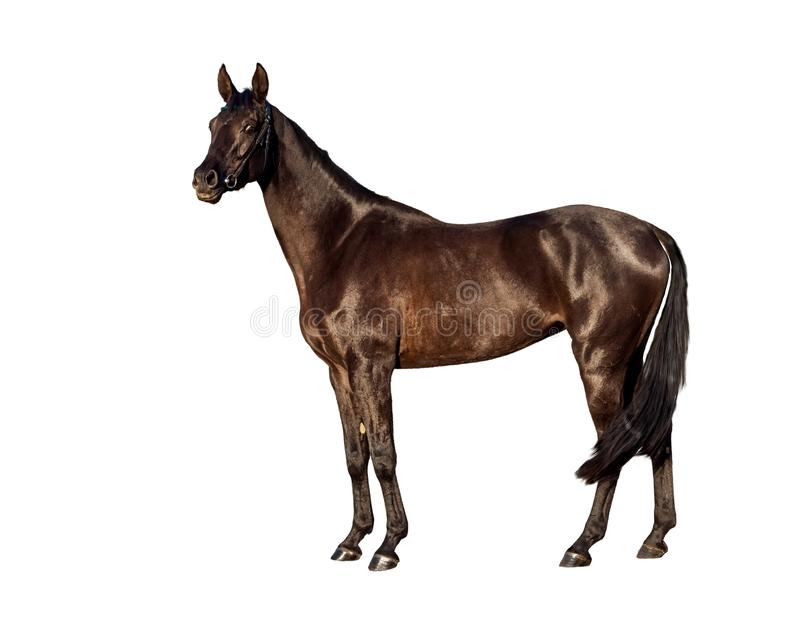 Portret of young bay horse isolated on a white background royalty free stock image