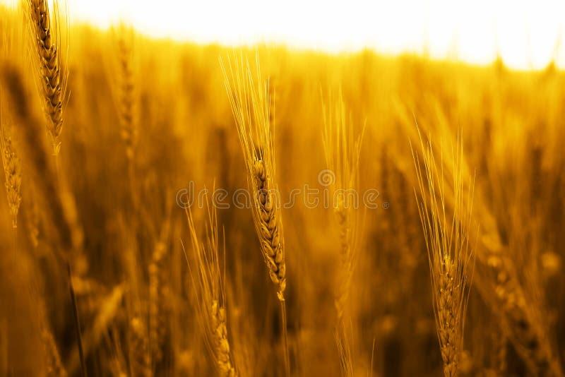 Portret złoci pszeniczni pola zdjęcie royalty free