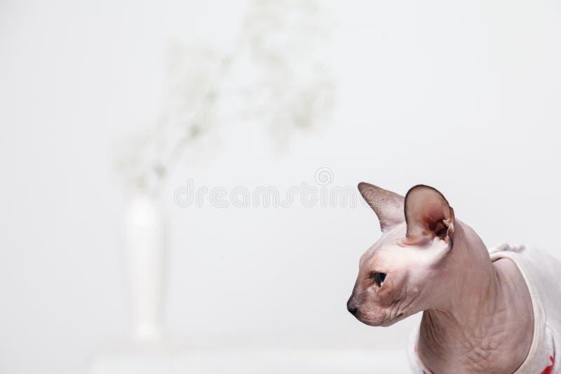 Portret złowrogi nagi Sphynx kota trakenu kanadyjczyk w profilu, na białym zamazanym tle z wazą kwiaty fotografia stock