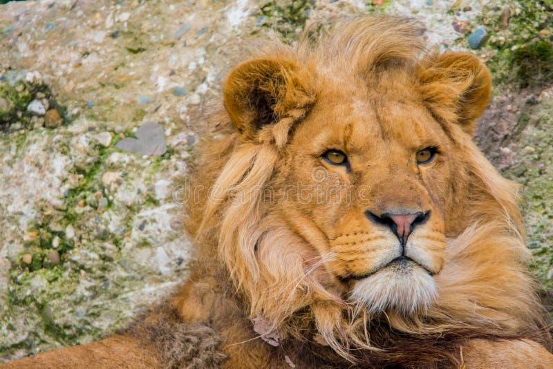 Portret zachód - afrykański lew zdjęcia royalty free