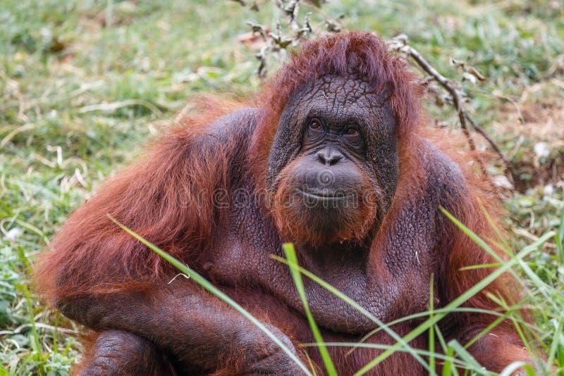 Portret zadowolony zrelaksowany orangutan zdjęcie stock