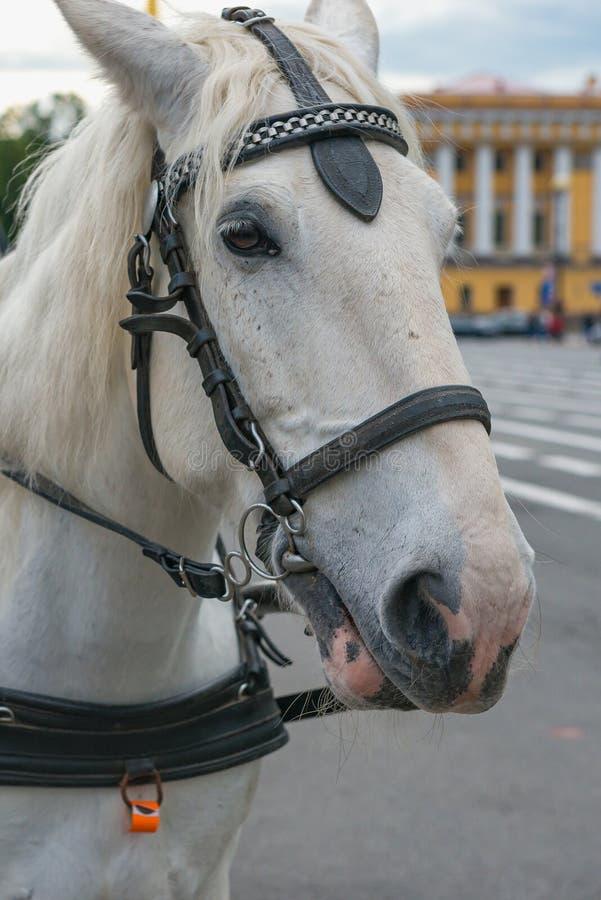 Portret zaprzęgać biały koń, zakończenie w górę zdjęcie royalty free