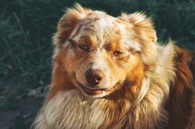 Portret zarodowy dostojny psi szczęśliwy uśmiechnięty Australijski Pasterski purebred Aussie chodzi w parku obraz stock