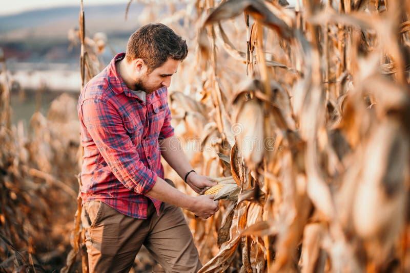 Portret zbiera kukurudzy przystojny rolnik zdjęcia royalty free
