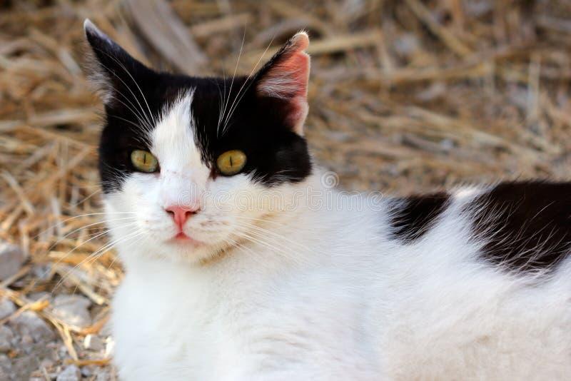 Portret zdziczały biały kot w wsi zdjęcie stock