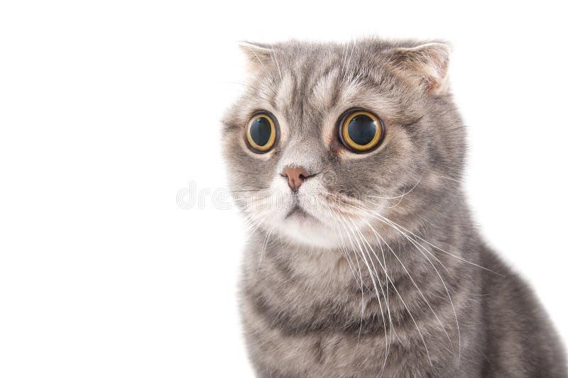 Portret zdziwionego kota trakenu Szkocki fałd fotografia stock
